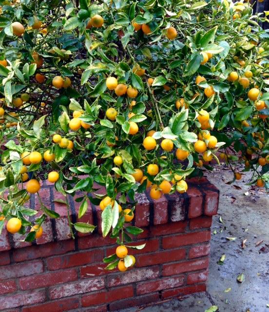Kumquat Overload!